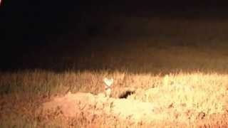 Black-Footed Ferret Rubbernecks to See What We Are!  Endangered Mammals!