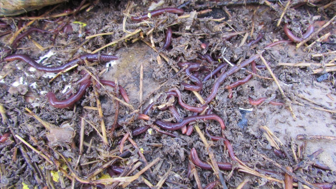 attracting compost worms & a worm barrel update