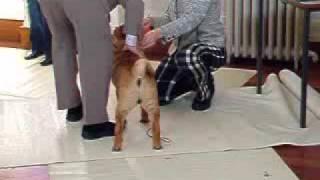 Ting Tong Shar Pei Puppy