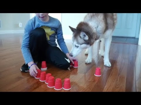 Siberian Husky and the Solo Cup Challenge