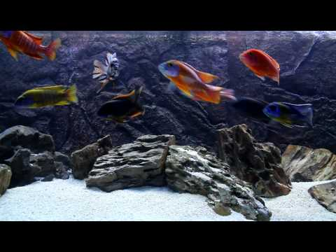75 Gallon African Cichlid All Male Show Tank