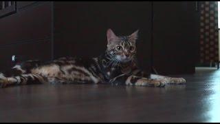 Бенгальские кошки - домашние леопарды
