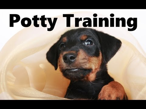 How To Potty Train A Jagdterrier Puppy German Hunt Terrier House Training Jagdterrier Puppies