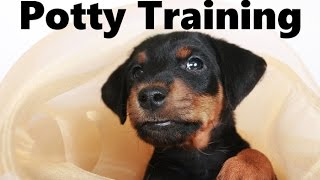 How To Potty Train A Jagdterrier Puppy - German Hunt Terrier House Training - Jagdterrier Puppies