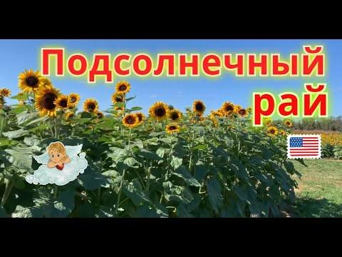 🌻 Рай из подсолнухов в штате Нью Джерси/Holland Ridge Farms, Sunflower Festival 🌻
