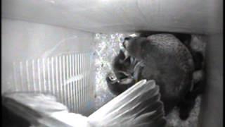 Wood Ducks Leaving Nest Box 2012, Part 1