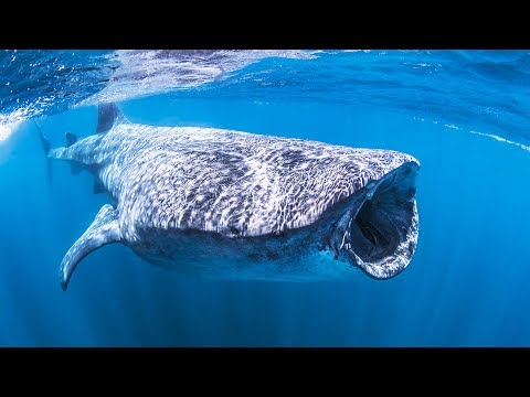 Requin-baleine : le plus grand poisson du monde - ZAPPING SAUVAGE