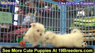 Maltese, Puppies, Puppies, For, Sale, In, Columbia, Maryland, MD, Perry Hall, Pikesville, College Pa