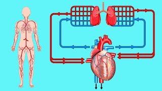 Sanguínea en circulación el cerebro aumentar ejercicio para la