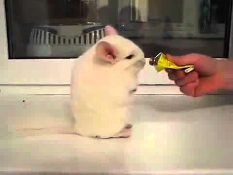 Шиншиллы - забавное видео о шиншиллах :)