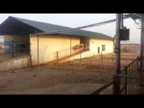 300 cattle Dairy Running completely on Bio Gas Electricity at Jhansi - UP