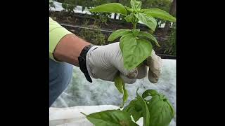 How to Harvest Basil at Firstfruits Farm SLO