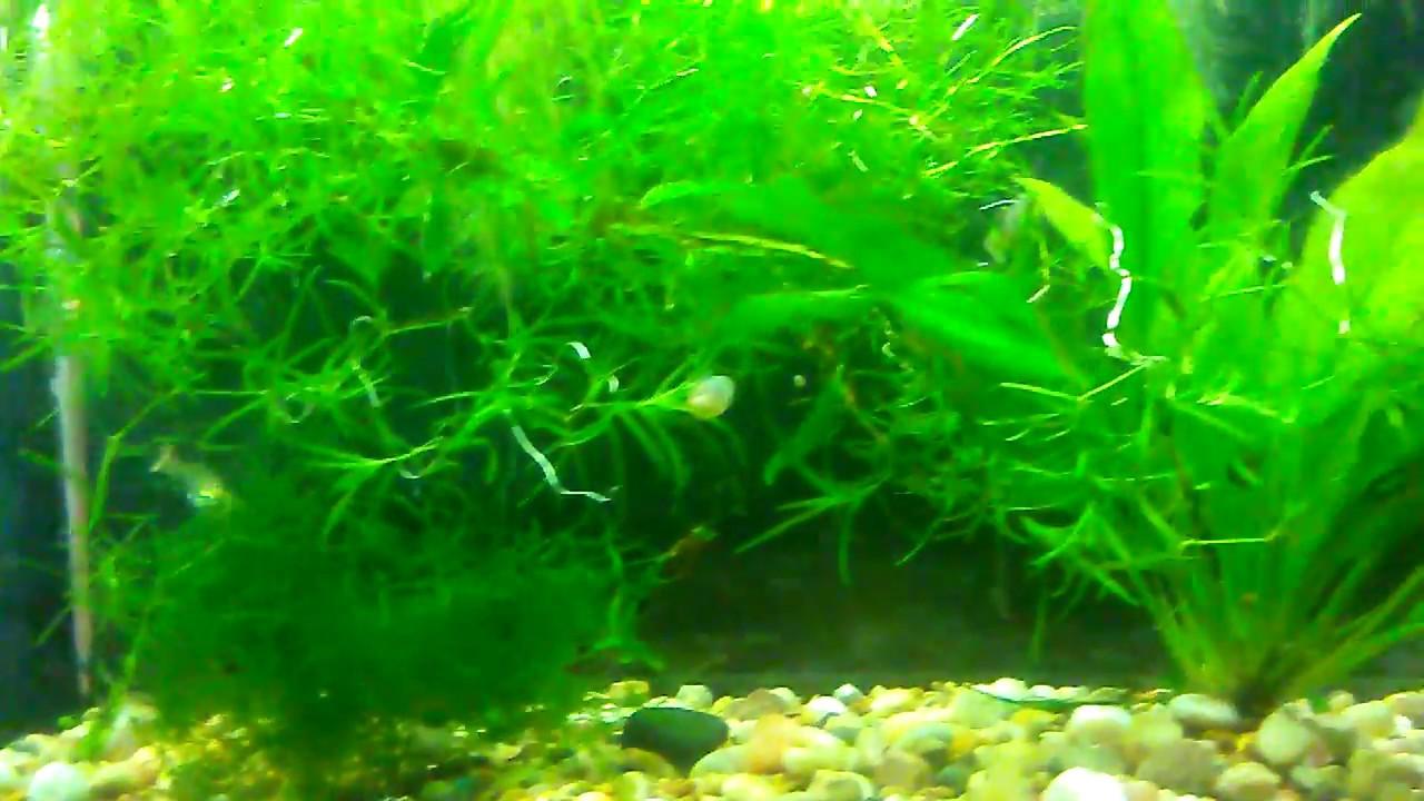 Guppy breeding tank