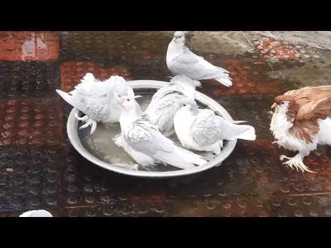 Lahore Pigeon | Siraji Pigeon | Fancy pigeon