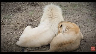Как львица приХватизировала красавчика Чипа !