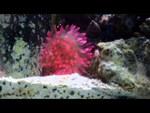 Rose Bubble Tip Anemone And Crab