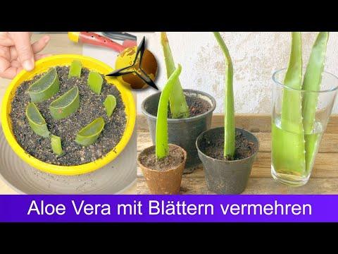 Aloe Vera mit Blättern Stecklingen vermehren?