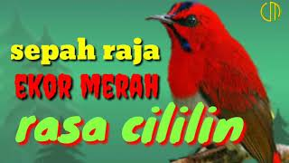 Kolibri sepah raja ekor merah