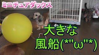 【ミニチュアダックス】マロンちゃんと大きな風船(*'ω' *)