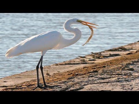 Most Beautiful Egret (Heron) Bird -part 1