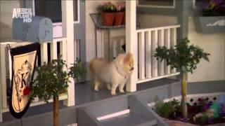 Порода собак - Померанский шпиц