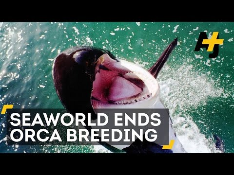 SeaWorld To Stop Breeding Orcas