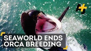 SeaWorld To Stop Breeding Orcas