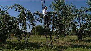 Le Mesnil-sous-Jumièges (76) : la récolte de cerises moins prolifique