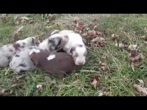 Riddle Creek Aussies 11/2016 (Abbie Litter)