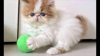 Описание персидской кошки
