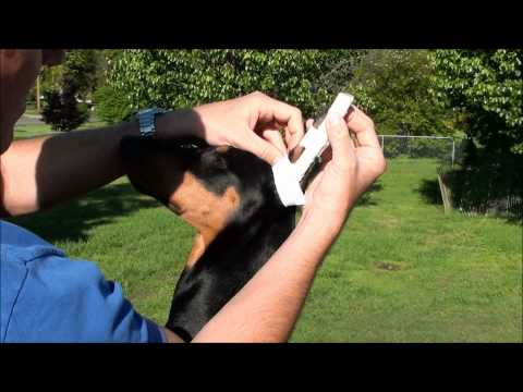 How to properly wrap Dobermans ears (PART 2)