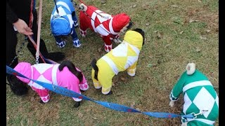 Mighty Morphin Pug Power Rangers at Howl-o-Ween