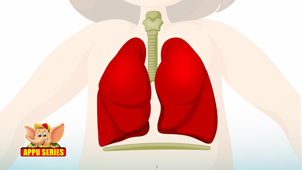 Learn Human Body - Respiratory System - YouTube