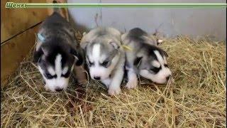 Предлагаем щенков Сибирский Хаски  - род. 17 февраля 2016 год