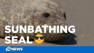 SUNBATHING SEAL: Baby elephant seal enjoys the SF sunshine