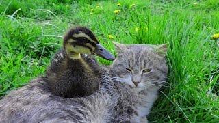 Попробуй не засмеяться Дружба кота и качечки