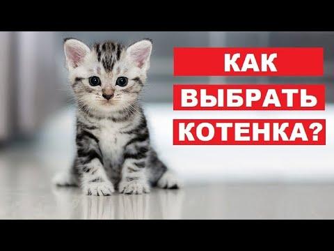 Вопрос: Котёнка какой породы лучше всего купить?