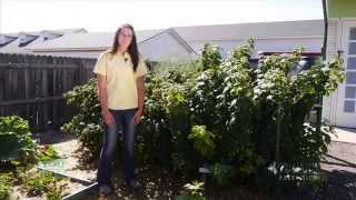 Looking for a Fruit Crop, Try Raspberries | From the Ground Up