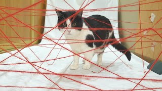 My Cat Attempt Impossible Laser Maze