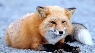 Погоня за лисой. The pursuit of a fox. Охота с параплана