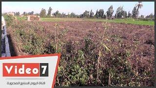 """""""إبراهيم"""" مزارع قطن بكفر الشيخ يشكو إهمال الحكومة: """"تقاوى الوزارة مضروبة"""""""