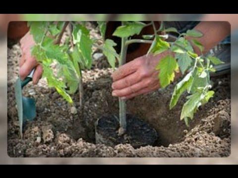 Правила посадки томатов в открытый грунт. Помогаем рассаде | высаживаем | помидоры | открытом | высадить | томатов | посадка | высадка | томаты | грунте | овощи
