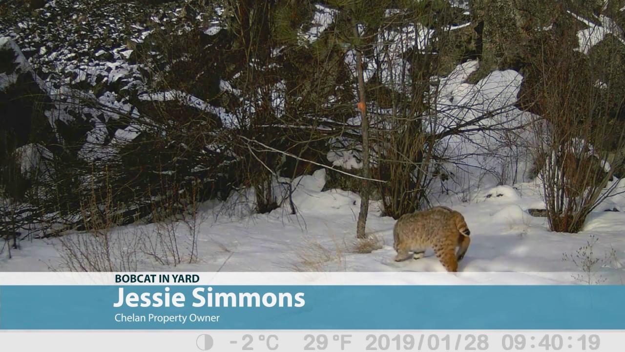 Chelan homeowner spots bobcat in her backyard