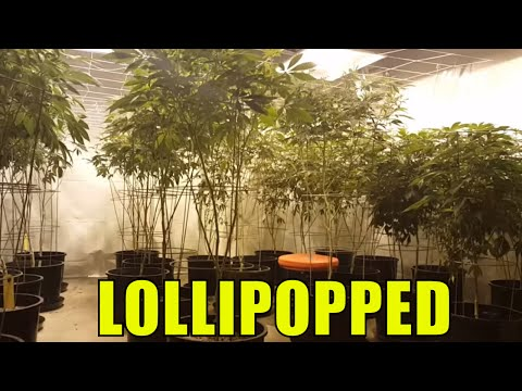 Cannabis plant lollipopping. Flowering Cannabis plants at we
