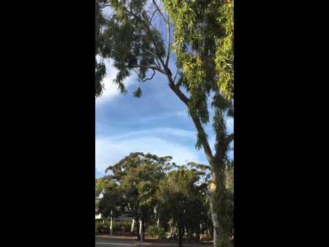 Black Cockies, Murdoch University, Perth, Western Australia