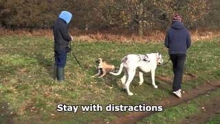 Lucky - Belgian Malinois Puppy Residential Dog Training At Adolescent Dogs Uk