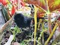Anak Burung Ruak Ruak Pikat Paling Ampuh Pikat Ruak Ruak Palingampuh  Mp3 - Mp4 Download