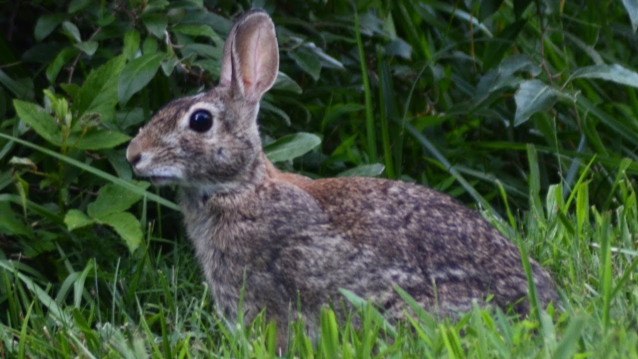 Eastern cottontail rabbit running away after alertly ...
