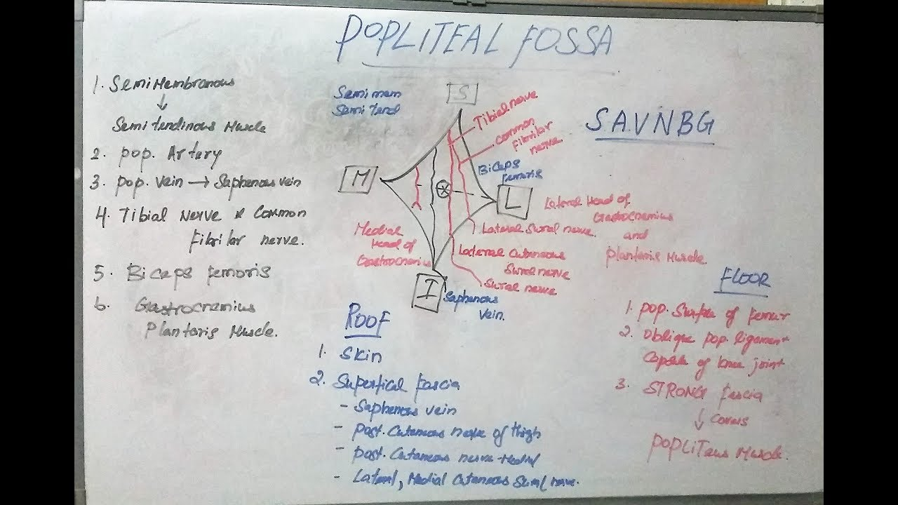 Popliteal Fossa - Definition,Anatomy,Location and Borders - human ...