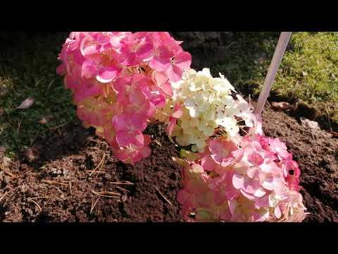 Красота гортензий в осеннем саду. Хвойные и декоративные кустарники. Прогулка по саду.